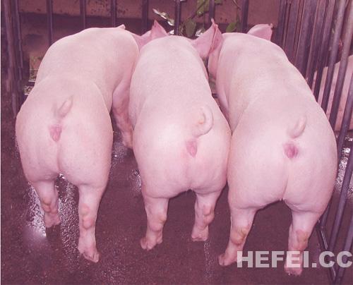 配种时公猪疯了 接连咬伤三人